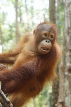 Orangutaní škola v džungli (3)