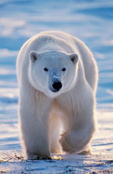 Přežijí lední medvědi?